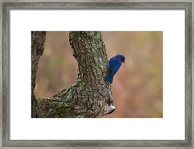 Blue Bird 2 Framed Print by Dan Wells