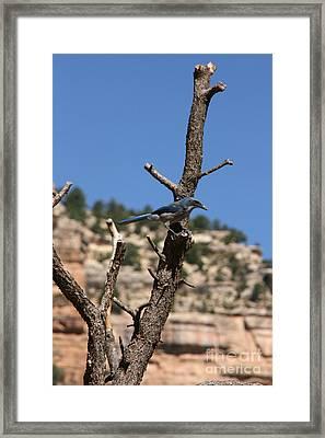 Blue Bird Grand Canyon National Park Arizona Usa Framed Print by Audrey Campion