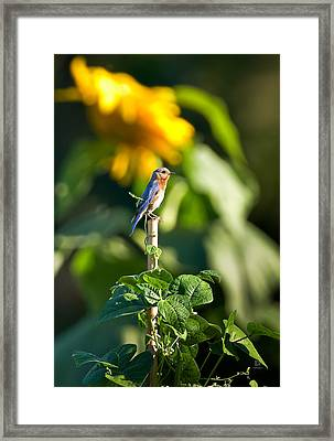 Blue Bird On The Bean Stalk Framed Print