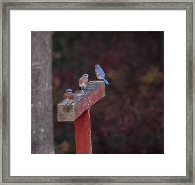 Blue Birds Framed Print