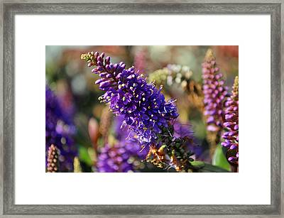 Framed Print featuring the photograph Blue Brush Bloom by Tikvah's Hope