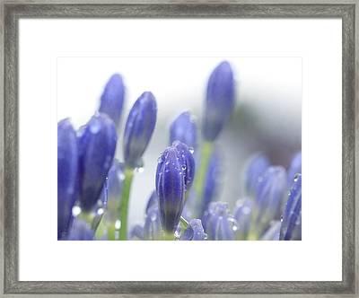 Blue Buds Framed Print by Margaret Hormann Bfa