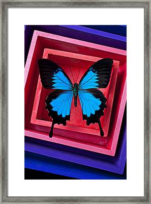 Blue Butterfly In Pink Box Framed Print by Garry Gay