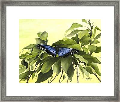 Blue Butterfly Of Branson Framed Print