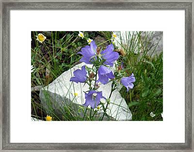 Blue Campanula Flower Framed Print by Vicky Tarcau