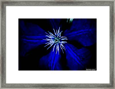 Blue  Clematis Framed Print by Toma Caul