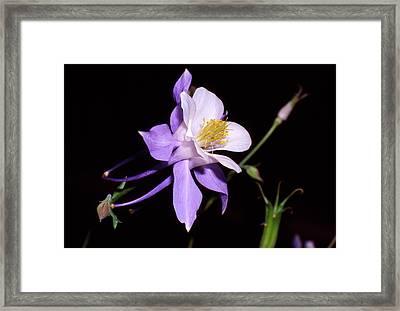 Blue Columbine Framed Print