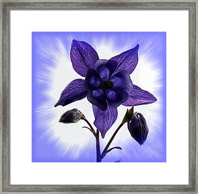 Blue Columbine Framed Print by Nick Kloepping