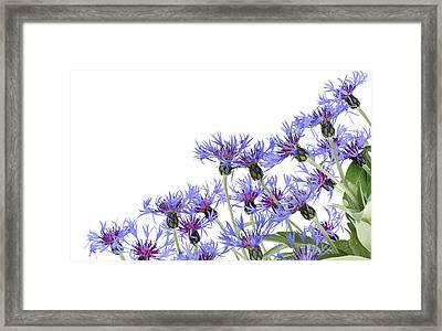 Framed Print featuring the photograph Blue Cornflowers Postcard by Aleksandr Volkov
