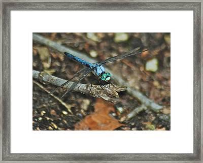 Blue Dasher 8658 3287 Framed Print by Michael Peychich