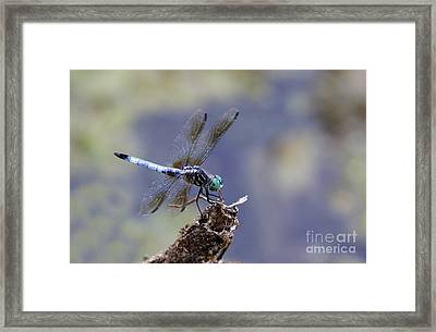 Blue Dasher Dragonfly Framed Print by Chris Hill