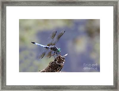 Blue Dasher Dragonfly Framed Print