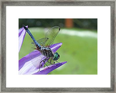 Blue Dasher Dragonfly Closeup Framed Print by Becky Lodes