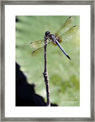 Blue Dasher Dragonfly Dancer Framed Print by Sabrina L Ryan