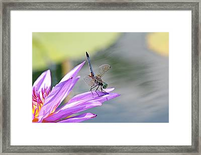 Blue Dasher Dragonfly Doing A Handstand Framed Print by Becky Lodes