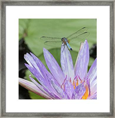 Blue Dasher Dragonfly On Waterlily Framed Print by Becky Lodes