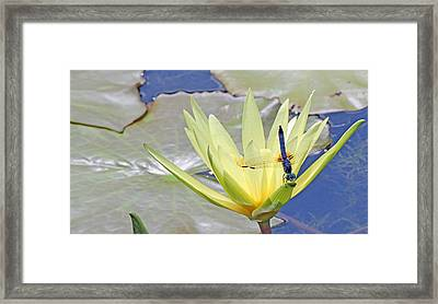 Blue Dasher Dragonfly On Yellow Waterlily Framed Print by Becky Lodes