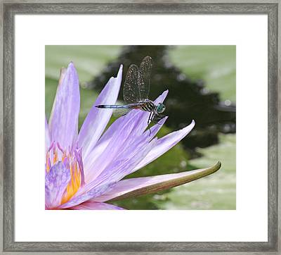 Blue Dasher Dragonfly With Iridescent Wings Framed Print by Becky Lodes
