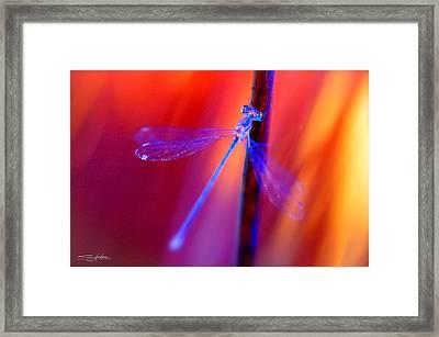 Blue Dragon Fly Framed Print