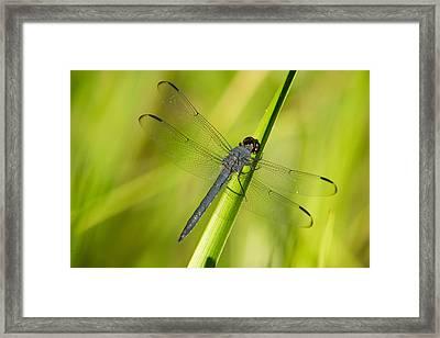 Blue Dragonfly 11 Framed Print by Douglas Barnett
