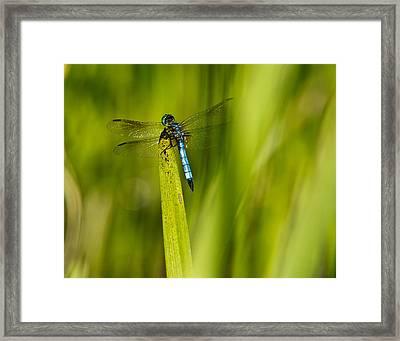 Blue Dragonfly 13 Framed Print by Douglas Barnett