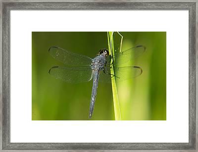 Blue Dragonfly 17 Framed Print by Douglas Barnett