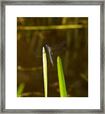 Blue Dragonfly 20 Framed Print by Douglas Barnett