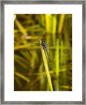 Blue Dragonfly 28 Framed Print by Douglas Barnett