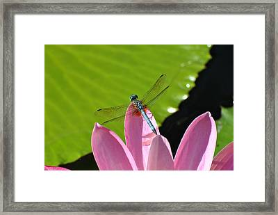 Framed Print featuring the photograph Blue Dragonfly On Pink Water Lilly by Jodi Terracina