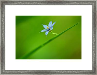 Framed Print featuring the photograph Blue-eyed Grass by JD Grimes