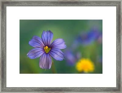 Blue Eyed Grass Framed Print by Kathy Yates