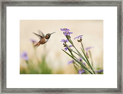 Blue-eyed Grass Wildflowers And Rufous Hummingbird Framed Print