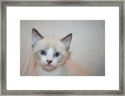 Blue Eyed Kitten Framed Print by Eduardo Bouzas