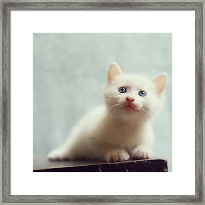 Blue Eyed White Coated Kitten Framed Print by Nga Nguyen