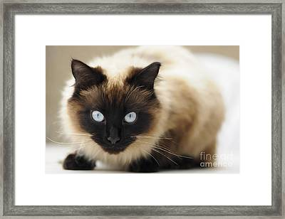 Blue Eyes Framed Print by Andrew  Michael