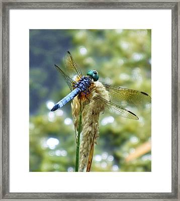 Blue Eyes Framed Print by Todd Sherlock