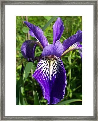 Blue Flag Iris Framed Print