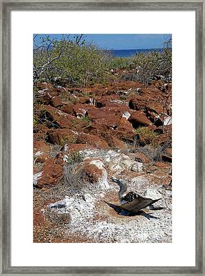 Blue-footed Booby And Rocks Framed Print by Sami Sarkis