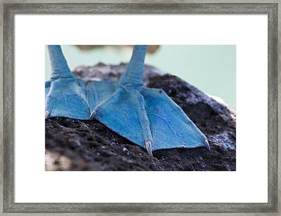 Blue Footed Booby Framed Print by Dave Fleetham
