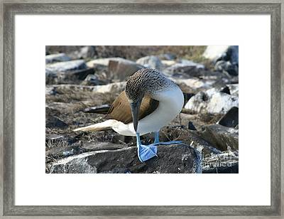Blue-footed Booby Framed Print