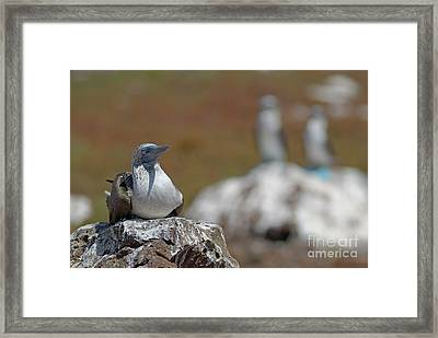 Blue-footed Booby  On Rock Framed Print by Sami Sarkis