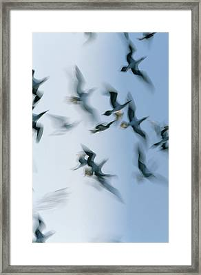 Blue-footed Booby Sula Nebouxii Flock Framed Print by Winfried Wisniewski