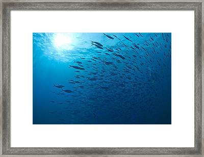 Blue Fusiliers, Similan National Marine Framed Print