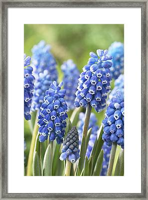 Blue Grape Hyacinth Muscari Aucheri Framed Print by VisionsPictures