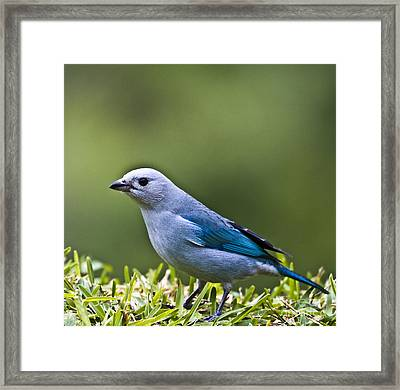 Blue-grey-tanager Framed Print by Heiko Koehrer-Wagner