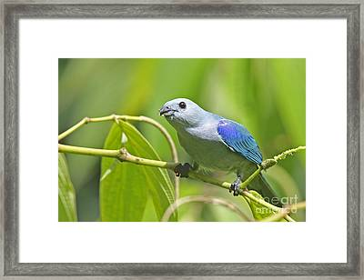 Blue-grey Tanager Framed Print