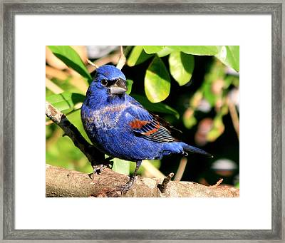 Blue Grosbeak Framed Print