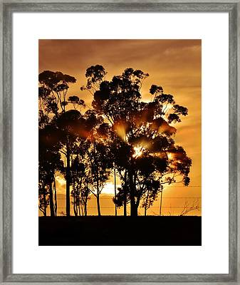 Blue Gum Trees Framed Print
