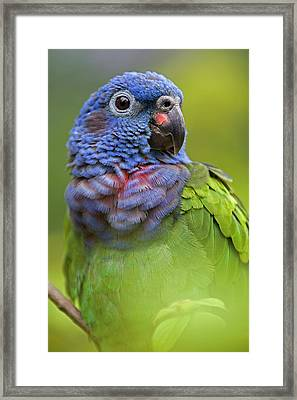 Blue-headed Parrot Pionus Menstruus Framed Print by Ingo Arndt
