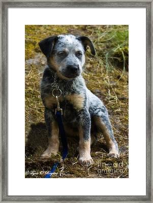 Blue Heeler Pup Framed Print